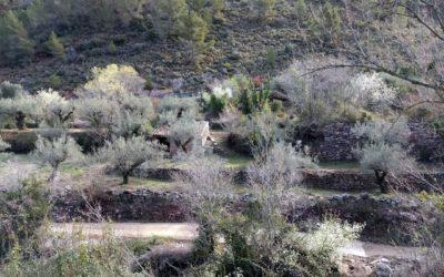 Cultivos de la Sierra de Espadán: Bancales de Algimia de Almonacid